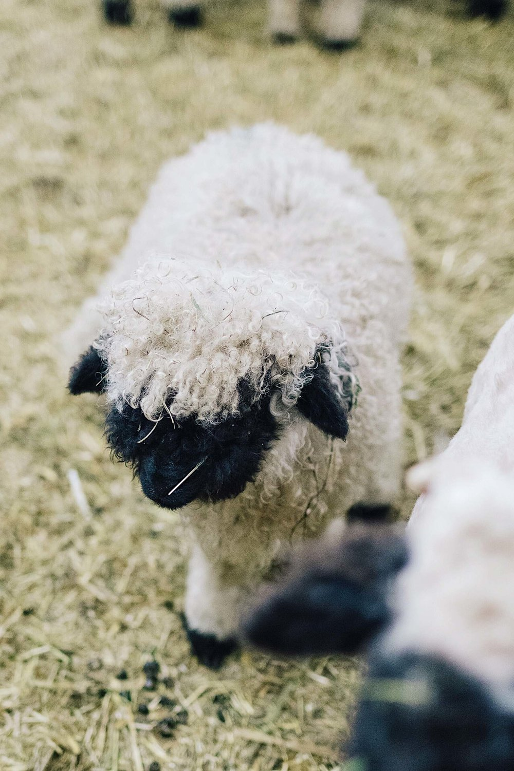 A fuzzy little black nose sheep