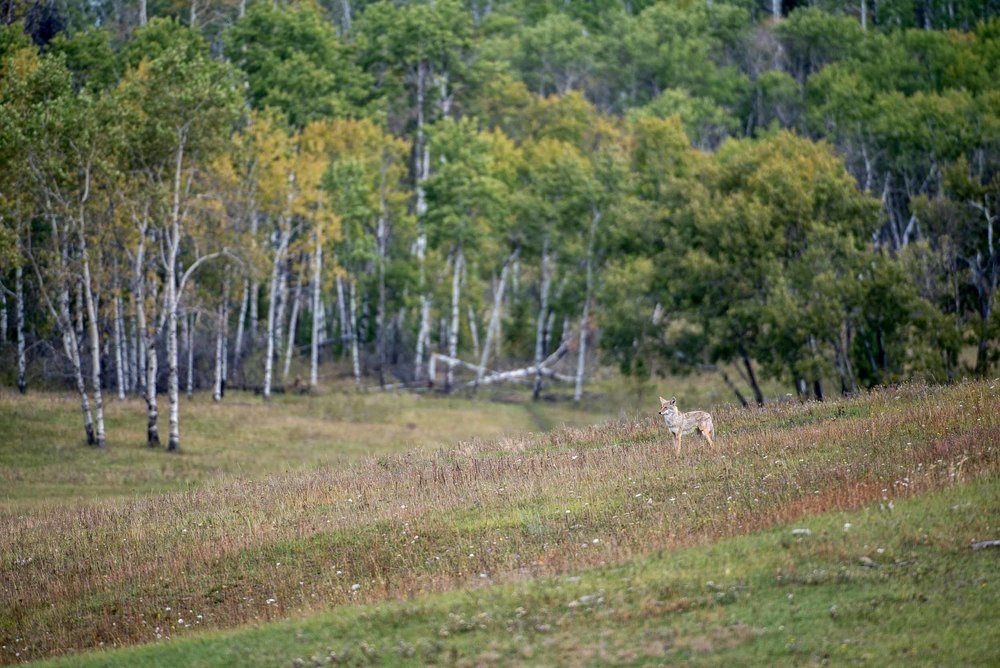 Coyote at The Flying U Ranch. Credit: Destination BC/Michael Bednar