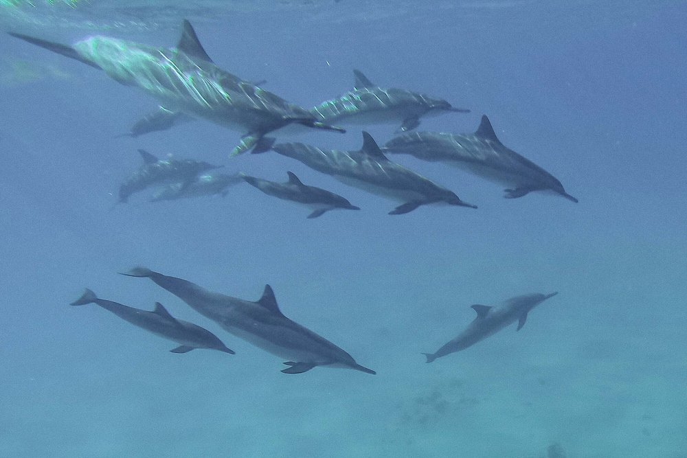 Dolphins in the wild off the shores of Oahu