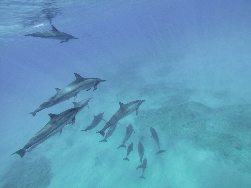 Want to swim with dolphins in the wild in Hawaii? Here's how!