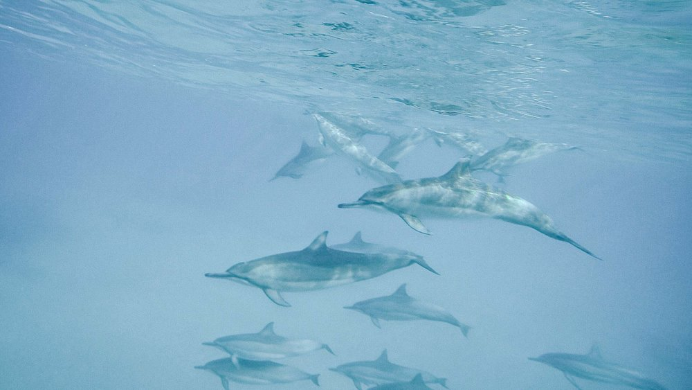 Pictures to take in Hawaii: dolphins under the sea