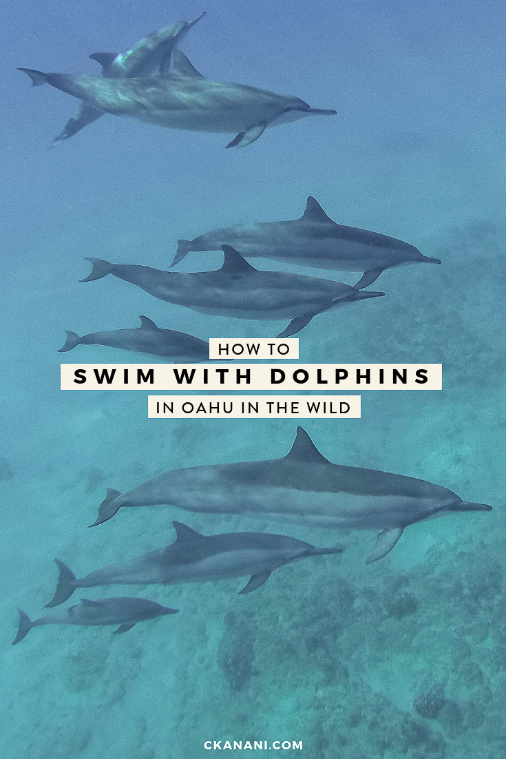 How to swim with dolphins in Oahu in the wild. A local's guide to swimming with dolphins in the ocean in Hawaii #dolphins #oahu #hawaii #travel #honolulu #waikiki