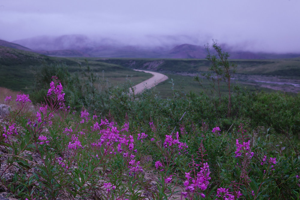 The Dempster Highway - connecting the Northwest Territories to it's western neighbour, the Yukon Territory. Fireweed, featured prominently, is the official flower of the Territories. It's namesake stems from it's abundance following seasonal forest fires.