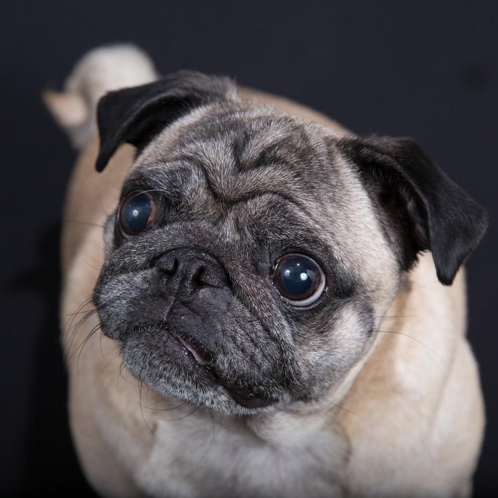 Gottschall-Dog