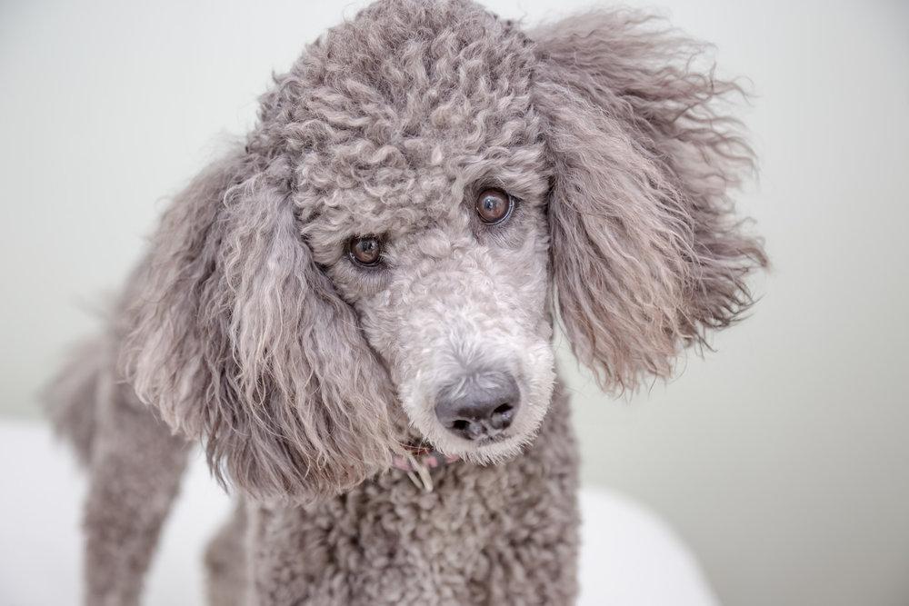 Grey Standard Poodle-Gem