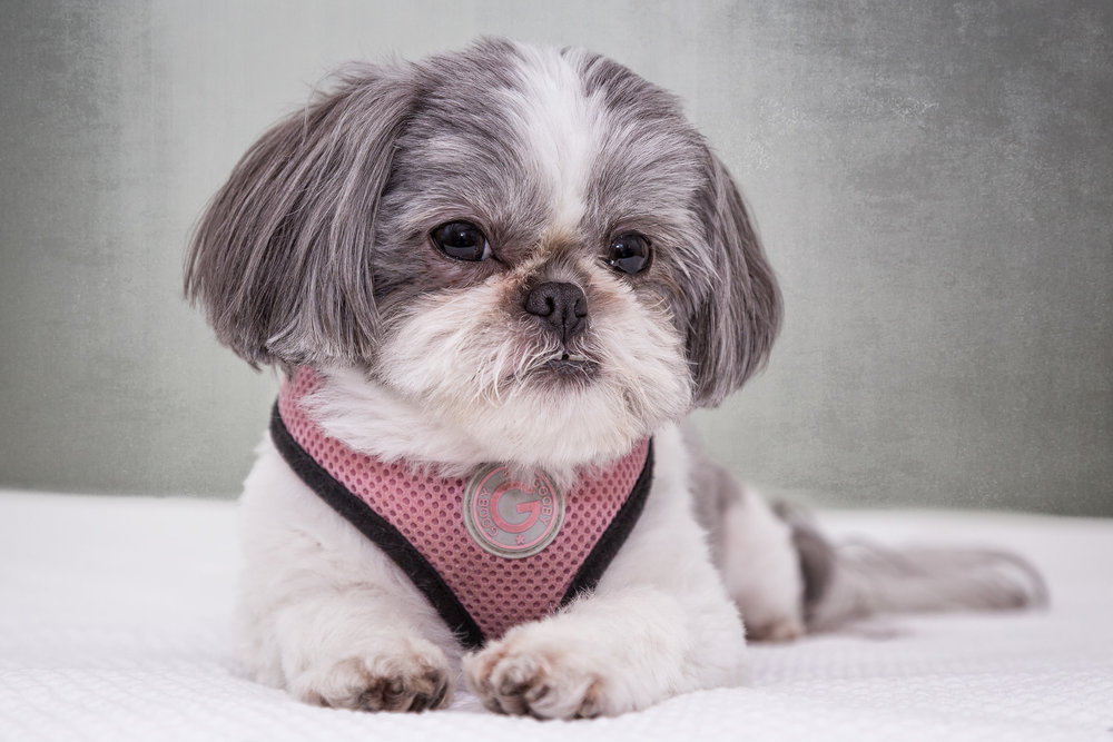 Khloe-Studio-dog-portrait_2016-2.jpg