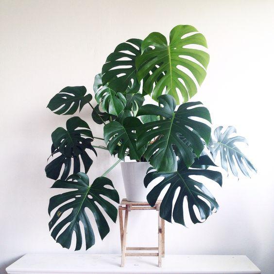 Costilla de Adán - Una exhuberante planta tropical ideal para uso en el interior ya que ama la sombra, puede llegar a gran tamaño si se encuentra a gusto donde se coloca. Pertenece a la familia de plantas trepadoras.