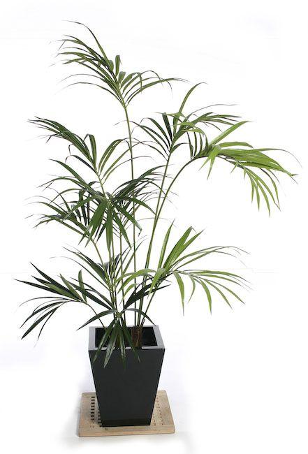 Kentia Palma - Agrega insta-boho a cualquier espacio colocando esta planta en cualquier rincón de tu casa. Fácil cuidado, y de simple adaptación.