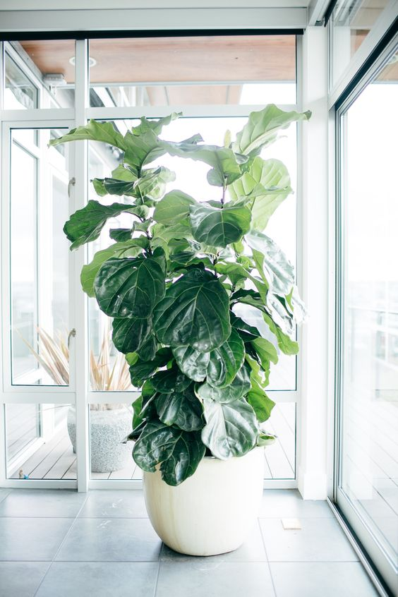 Ficus Lyrata - Una de las favoritas de los interioristas muy popular en revistas y publicaciones de diseño interior. Puede alcanzar gran tamaño y es feliz cerca de la claridad.