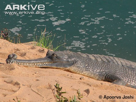 An adult male Gharial basks on a pristine sand bank in rural central India waiting for a female Gharial to emerge from the river - part of a courtship ritual in breeding season.