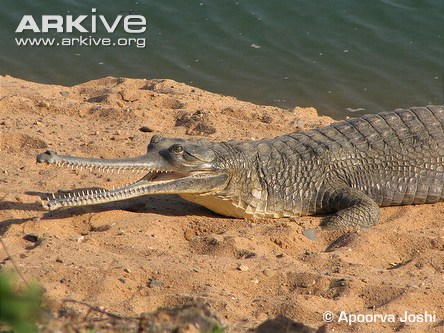 An adult female Gharial on a sand bank in rural central India. A Gharial's snout has evolved to be thin, long and lined with sharp inter-locking teeth - making it an expert at trapping and eating fish.