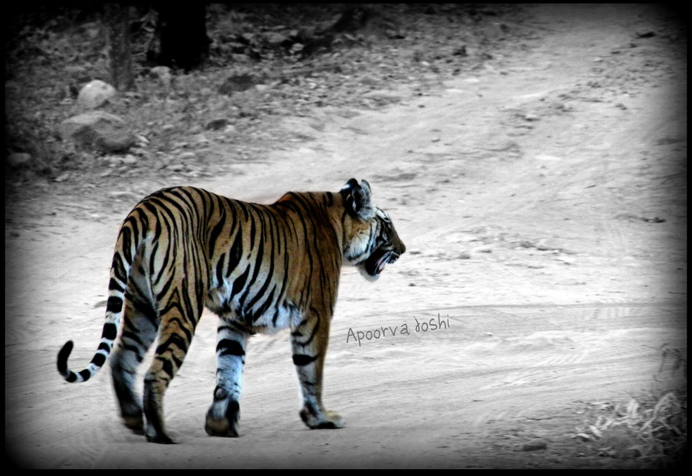 Tracking a tigress in Bandhavgarh Tiger Reserve in central India.