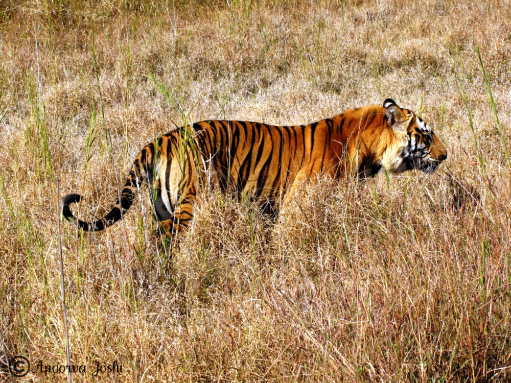 The Bamera male - an adult male tiger in Bandhavgarh Tiger Reserve who now rules his own territory.