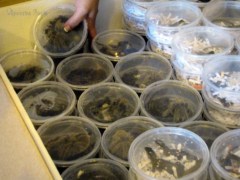 Tarantulas in box full of live animals being shipped to Miami from Europe for the pet trade.