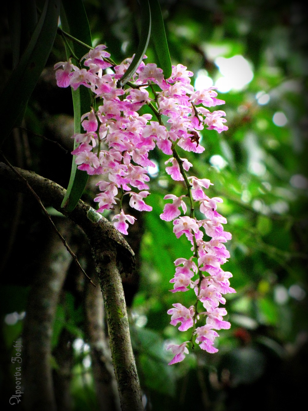 Wild orchids - endemic to India's diverse Western Ghats.