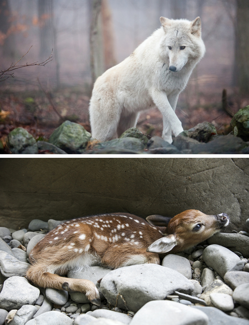 02_wolf and fawn.jpg
