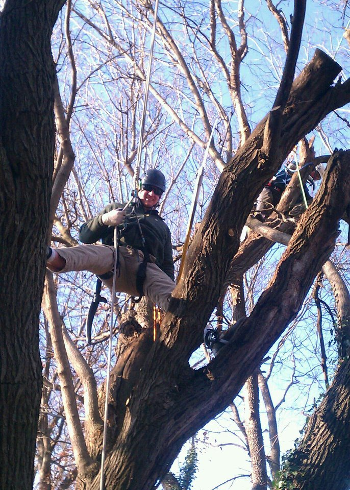 Pruning a White Mulberry