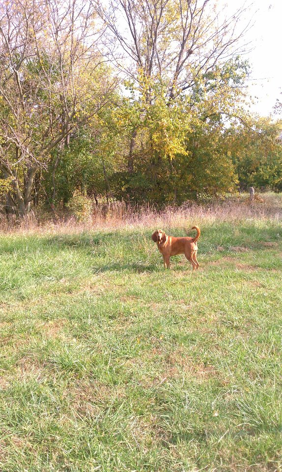 Ruby Mae was with me on this day in 2011. We found 70 + Black Walnut trees and the landowners ultimately made $18K.