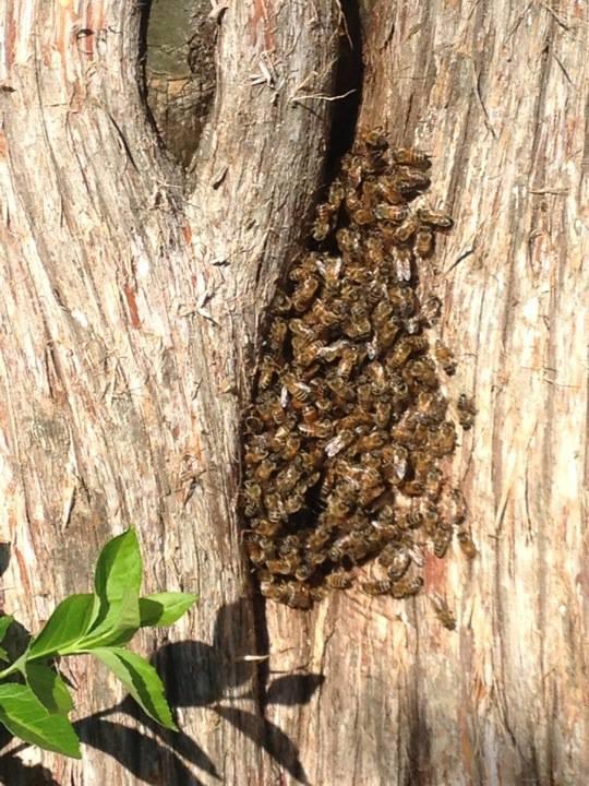 Some European honey bees in an Eastern Red Cedar.