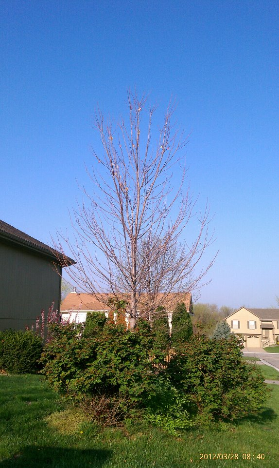 Red maple developing co-dominant stems. This tree was planted like this in 2011.