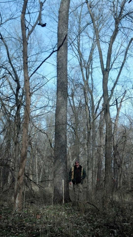 A fine Lafayette county Black Walnut. North of Higginsville.