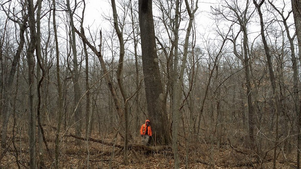 A small patch of old growth timber in Independence Missouri had 5-7 oaks like this one on each acre.