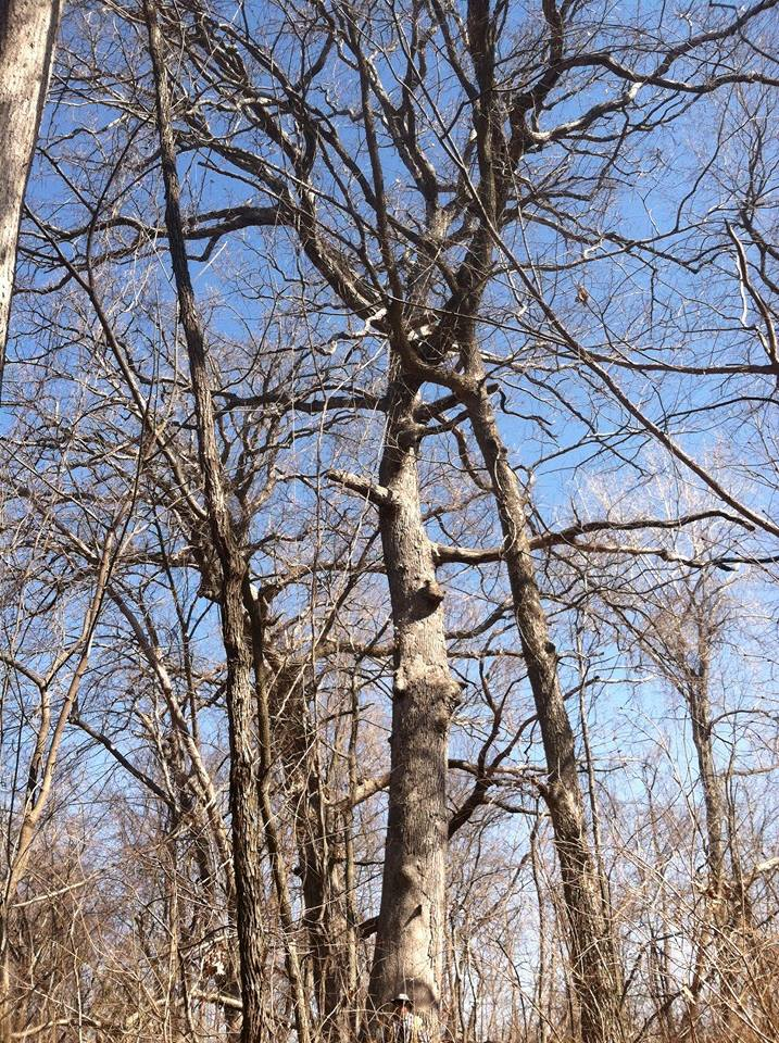 A 60' white oak would be about 300 years old. The USFS suggests that each inch of growth takes 5 years, though some research suggests that trees are growing faster as they get bigger.