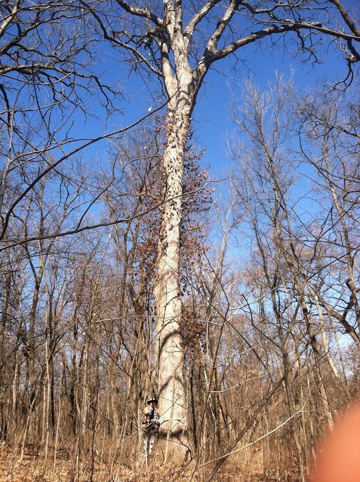 This tree was 50' in diameter and roughly 80' tall.