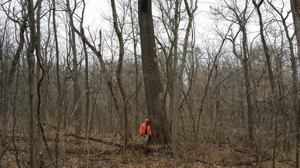 This was one of the few Old Growth Red oaks in this stand. A fantastic tree!