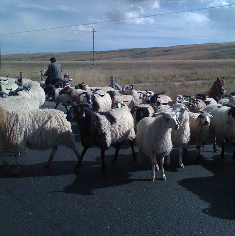 sheep in road.jpg