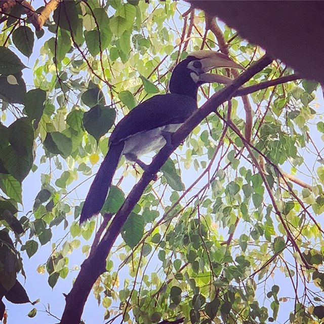 One of our friendly neighborhood hornbills cane to visit!