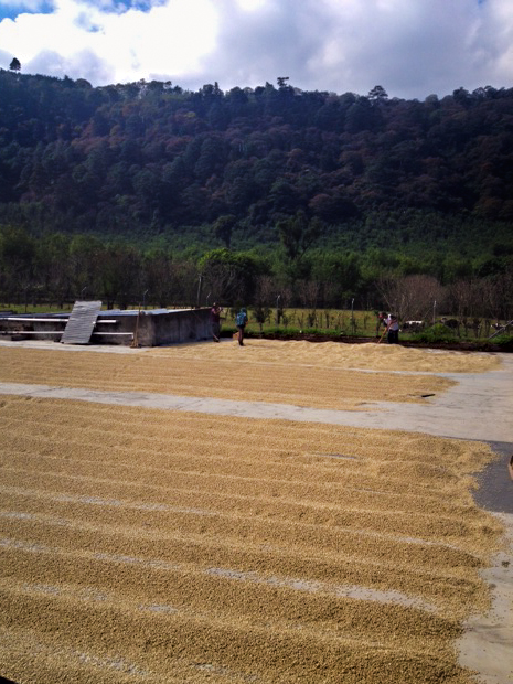 Coffee beans drying in the sun on giant patios at Finca Carmona. The beans are periodically raked into rows to facilitate a uniform drying process. Photo taken March 8th, 2014.