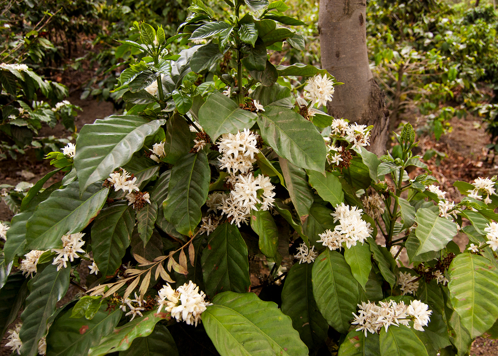 Coffee plant in bloom