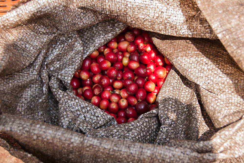Freshly picked coffee cherries from Bella Carmona. These were harvested March 5th, to be exact. Cherries picked the first week of March (like these) will be processed and dried over the next several weeks and exported. Our 2014 crop will arrive in late April or the beginning of May. The beans from this bag could be among them!