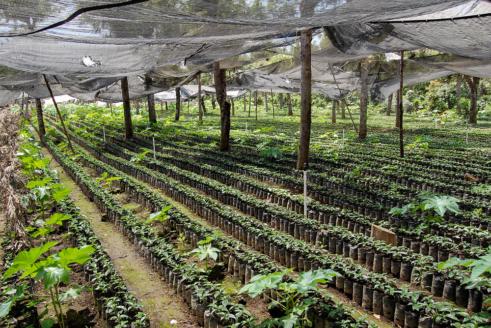 Grafted coffee plants growing in the nursery, Finca Filadelfia