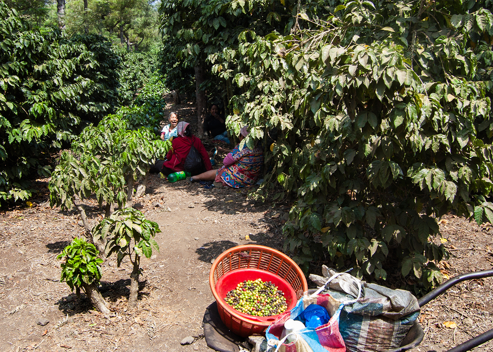 These ladies are taking a break in the shade, and laughing at the silly gringo's sunburn. I'd forgotten that altitude plus equator equals intense UV radiation. Oops. The basket contains the rejected beans, while the perfect, ripe cherries go in the bags.