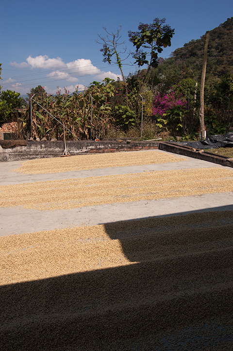 Coffee drying patio,Hacienda Carmona
