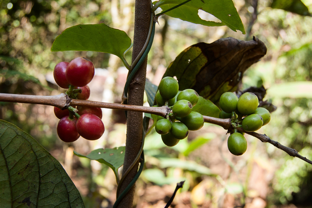 Coffee cherries ripening. The red ones on the left are getting close. The green ones have a ways to go.