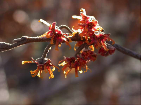 Ozark witch hazel (flower)