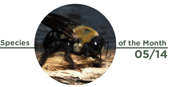 Species Of The Month May 2014 Eastern Carpenter Bee Forest