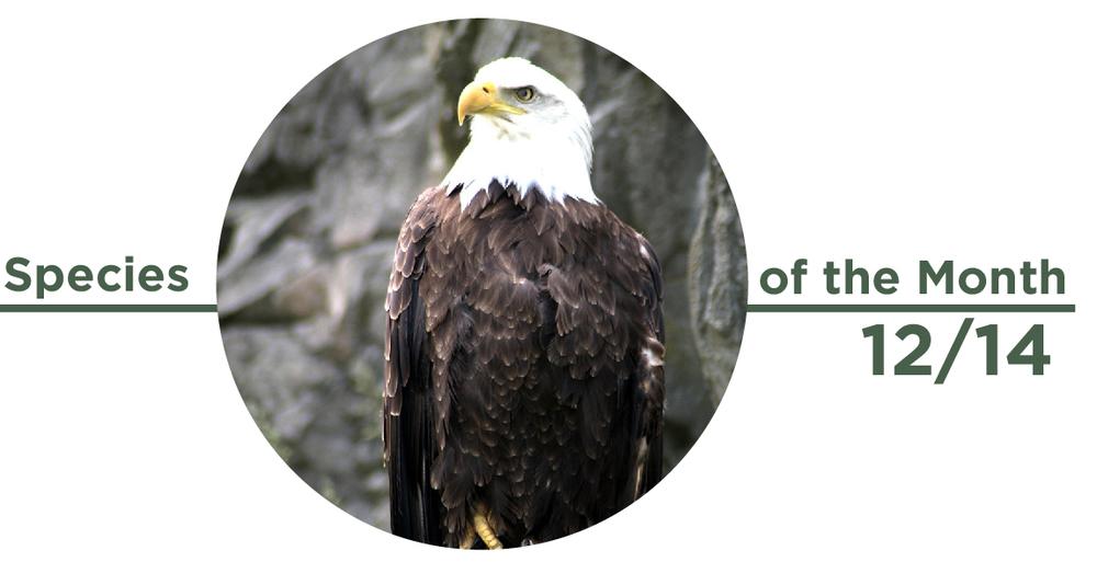 Species Of The Month December 2014 Bald Eagle Forest Park Forever