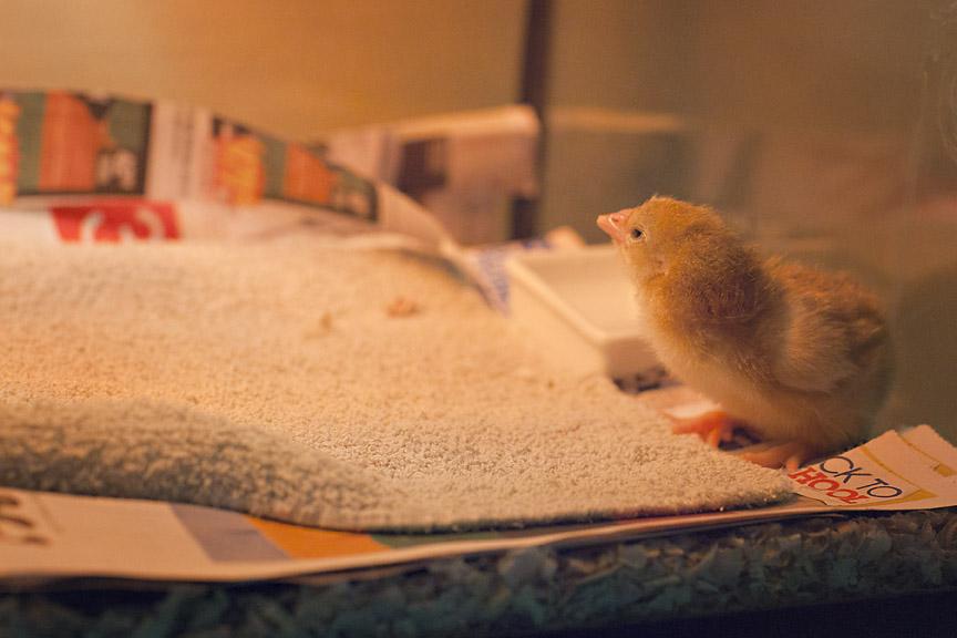 chicks_003.jpg
