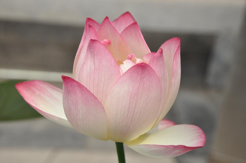 lotus_pink_lotus_flower.jpg