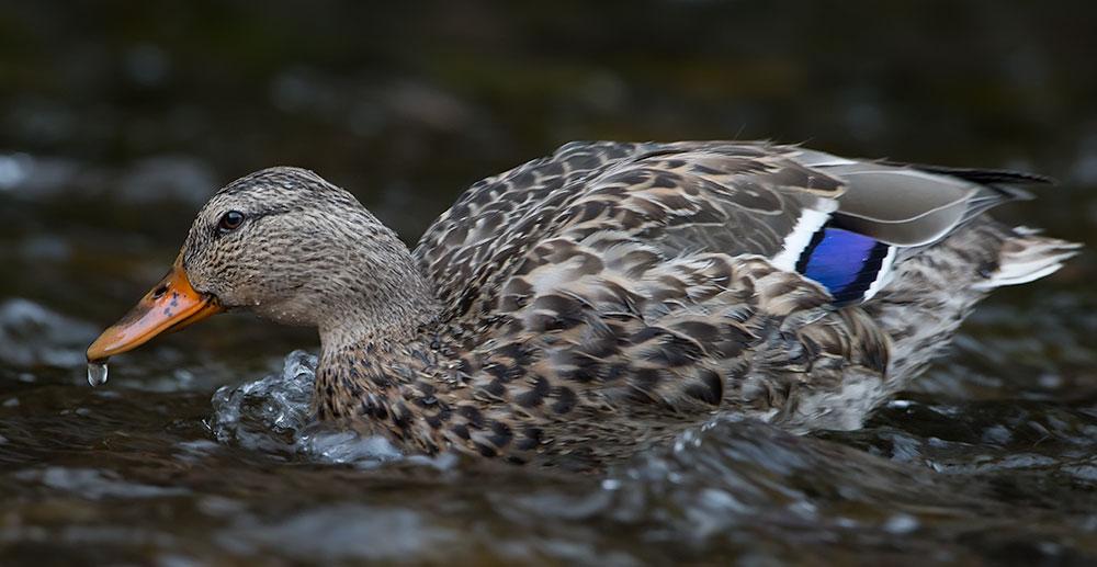duck_9303.jpg