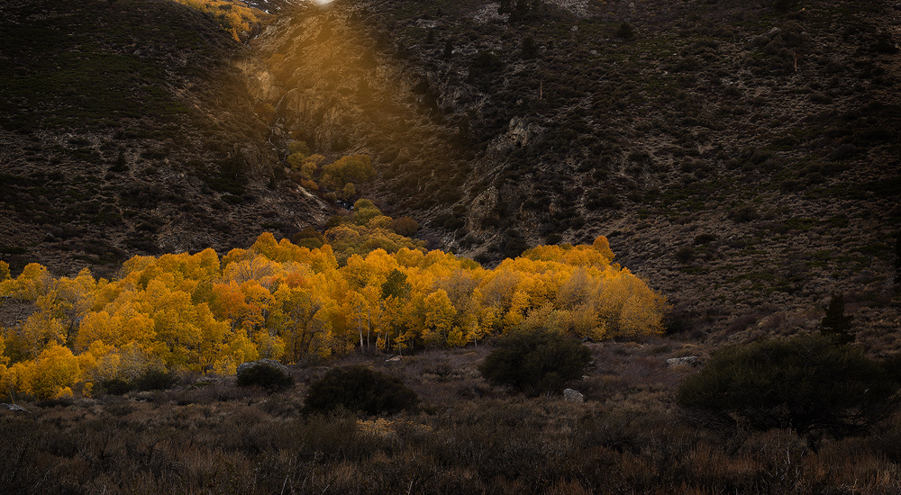 This grove was shot at sunset near Mcgee Creek in the Eastern Sierras