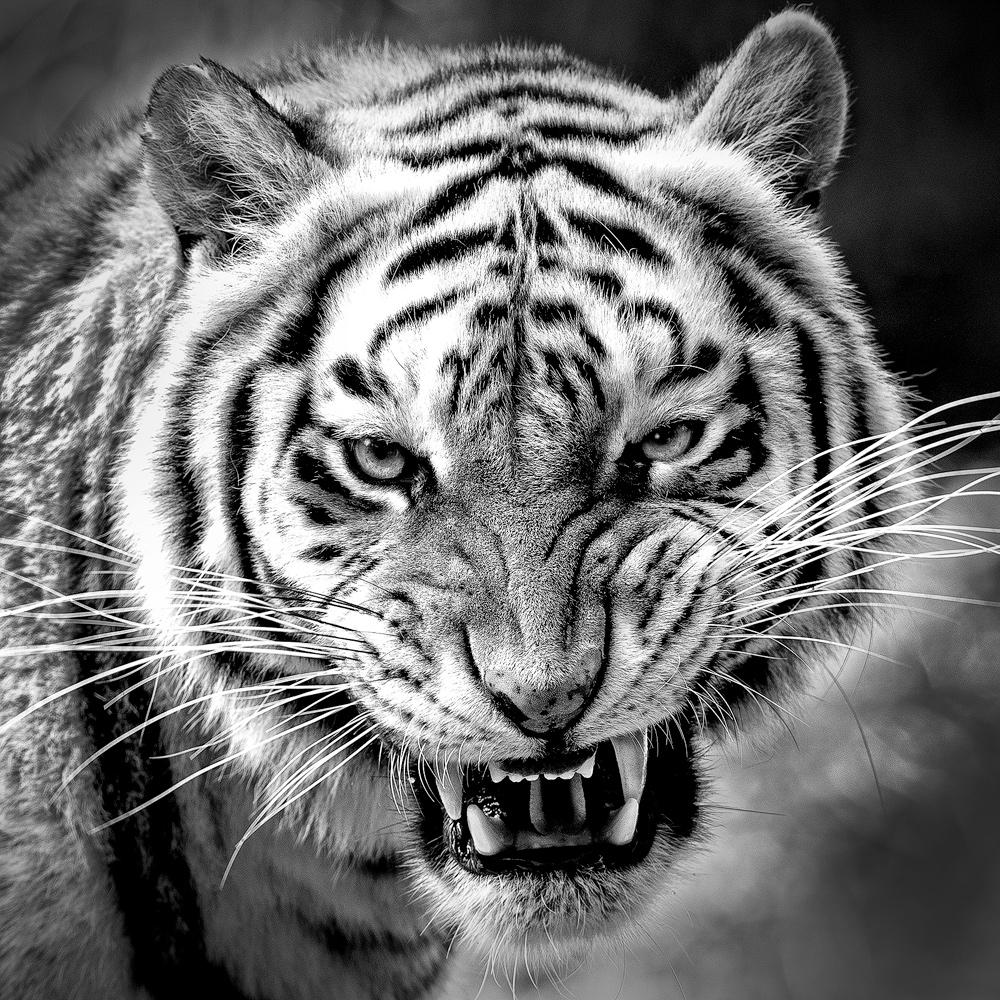 Tiger_BW.jpg