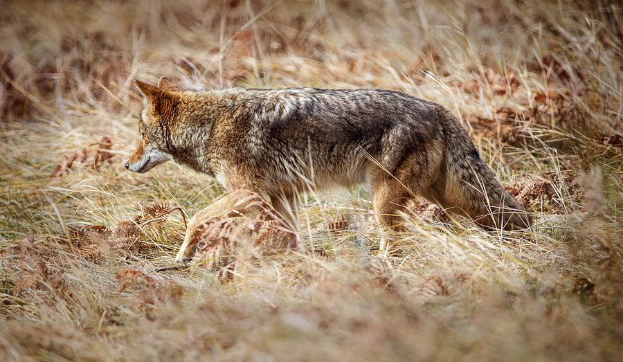 Coyote hunting for food, Yosemite Valley, California.  ©Terry VanderHeiden 2016