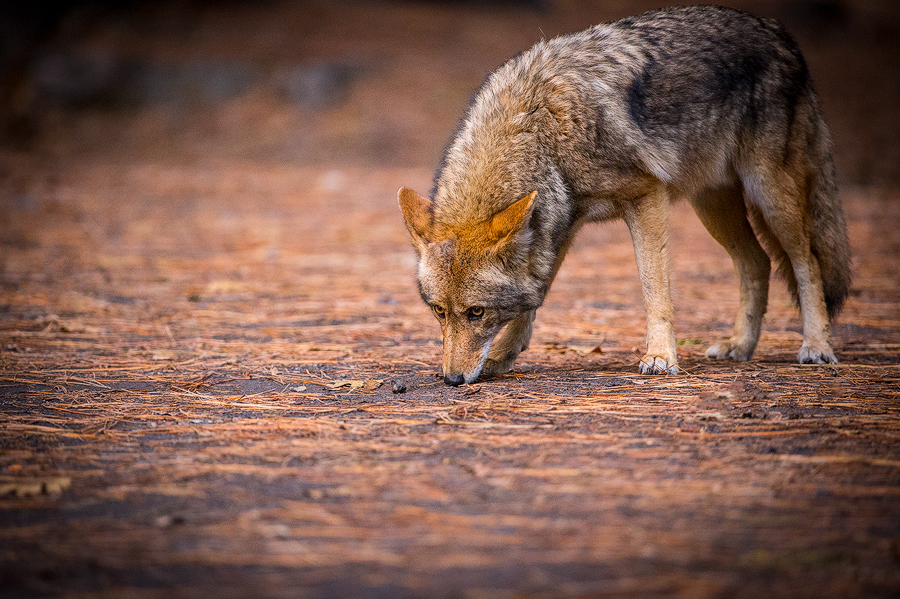 Coyote, Yosemite Valley, California.  ©Terry VanderHeiden 2016