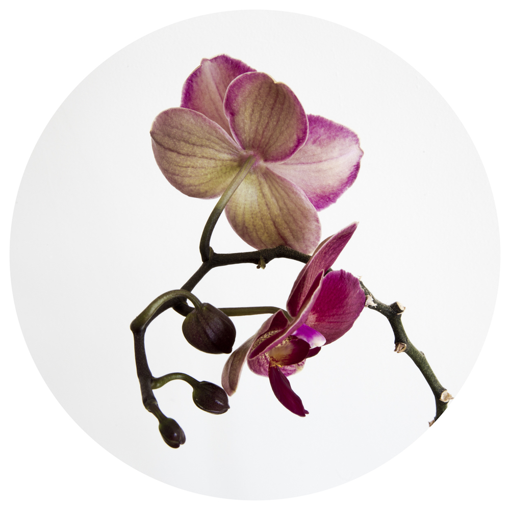 Botanical orchid