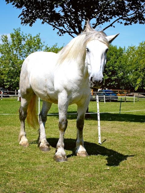 Bosun, British Percheron Northcote Heavy Horse Centre